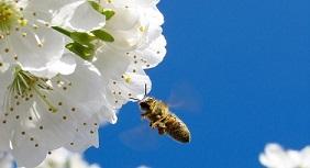 En varierad kost för honungsbin gör dem starkare